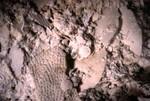 Extreme Closeup of Ocala Limestone