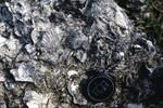 Taff. Qy, Wakulla Co. Torreya Fm. (Hawthorn Gp.) KMC